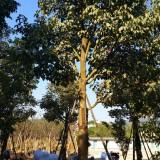 秋枫(高度3米5)