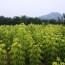 米径3公分金叶复叶槭