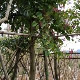 羊蹄甲 洋紫荆(米径20厘米)