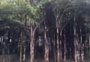 鱼尾葵杆高4米