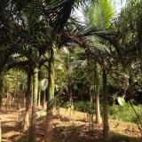 假槟榔(杆高4米)