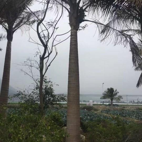 国王椰子杆高3米