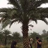 中东海枣(杆高2米5)