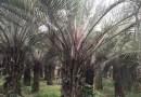 布迪椰子(杆高2米)