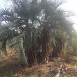布迪椰子(杆高1米5)