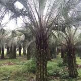 布迪椰子(杆高2米5)