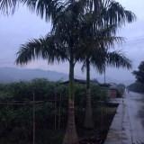 高3米大王椰子