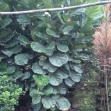 琴叶榕(高度2米)