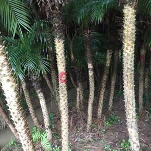 美丽针葵杆高1米
