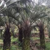 布迪椰子(杆高3米)