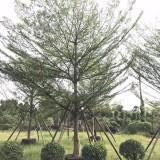 小叶榄仁(高度6米)
