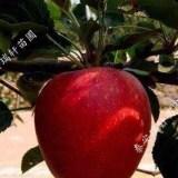 超产早熟果苗找鲁丽 鲁丽苹果苗