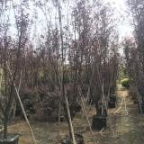紫叶李(高度4米)