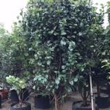茶花(高度2米5)