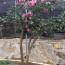园林绿化名贵茶花品种