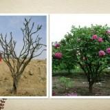 牡丹树销售