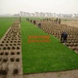早熟禾草坪多少钱一平方米