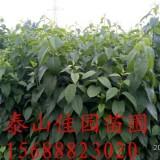 杜仲二年平茬苗价格2-3米杜仲树苗苗圃批发直销