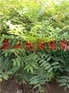 香椿树苗价格苗圃批发直销香椿树苗