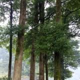 五十公分以上桢楠木出售