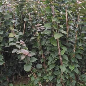 三角梅绿化袋苗