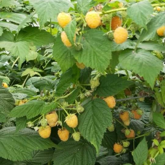 双季黄树莓苗