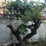 山野葡萄树