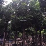 仁面子,仁面子精品苗木—米径10CM-18CM