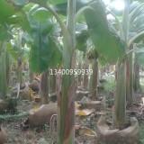 芭蕉,芭蕉苗木优质—高4米