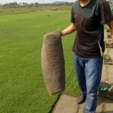 百慕大混播黑麦草