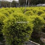 黄金香柳球(高度1米-宽1米)