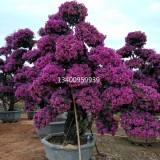 紫花三角梅(高度3米-5米)