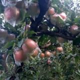 苹果树苗价格柱状苹果树苗价格新品种苹果苗价格苗圃直销