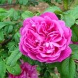 阴玫瑰基地常年供应四季玫瑰苗,低价、低价、