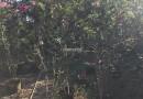 丛生紫薇-高度2米