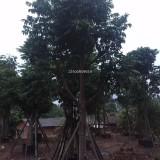 仁面子树-米径15公分