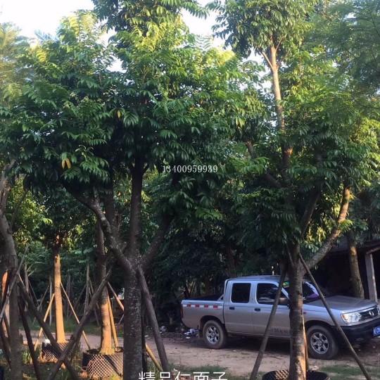 仁面子树-米径10公分