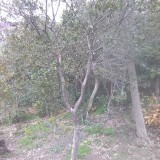 小叶黄杨木