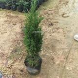 塔柏苗木优质-高度1米
