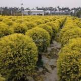 黄金香柳球-高度1米,宽1米