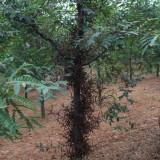 皂荚树树苗