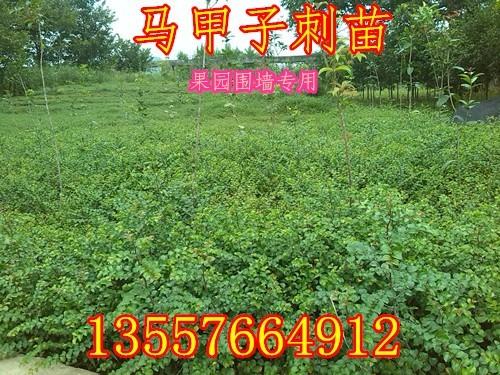 铁篱笆刺苗马甲子苗绿篱笆树苗马甲子 刺苗果园专用苗1千棵起包邮