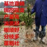 高产油茶树苗,品种正宗 矮化树苗