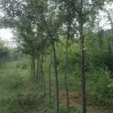 6年树龄皂角树苗6000余株位于洛阳孟津小浪底