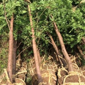 批发地径5公分红豆杉
