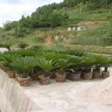 六枝特区岩脚花卉园 ------铁树