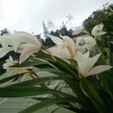 漂亮白色兰花