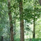 大杨树块20年的