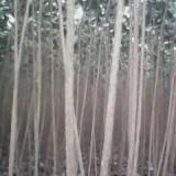107杨树苗