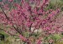 福建山樱花,7公分山樱花
